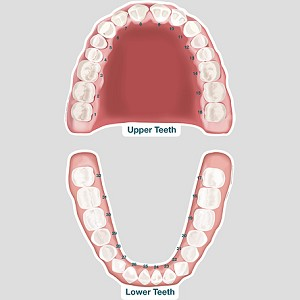Upper and Lower Permanent Teeth Labeled Chart